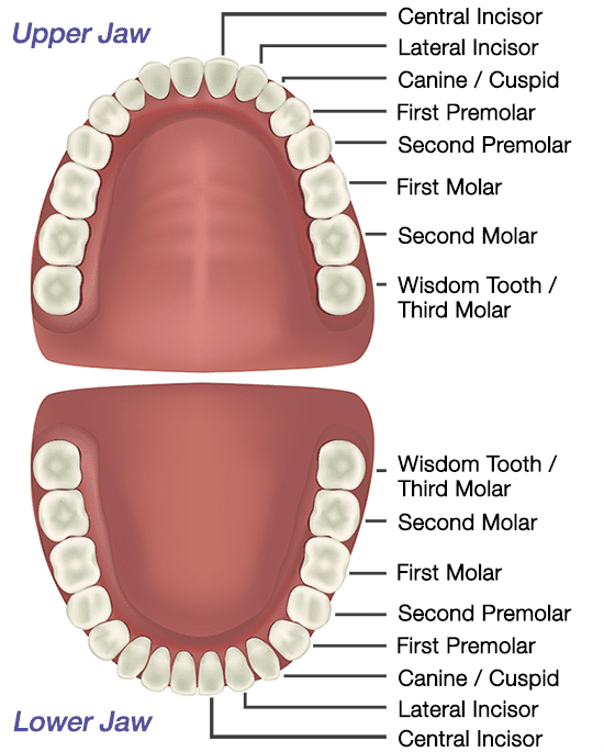 Labelled diagram of adult teeth